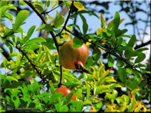 Sep07_JindaiBG_Pomegranate02RC.jpg
