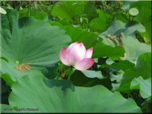 Sep13_Hidaka_LotusFlower02RC.jpg
