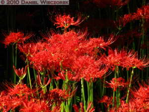 Sep25_015_NogawaPark_Lycoris_radiataRC
