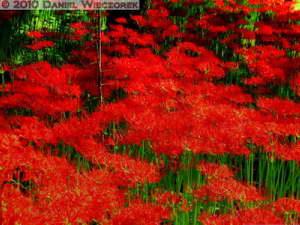 Sep26_088_89_90_TM_Det<BR>Enhance_Kinchakuda_Lycoris_radiataRC