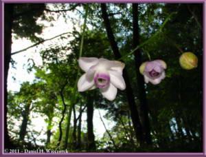 Sept10_001_Mitake_Hinode_Anemonopsis_macrophyllaRC