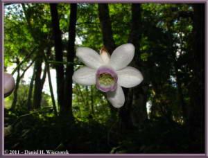 Sept10_007_Mitake_Hinode_Anemonopsis_macrophyllaRC