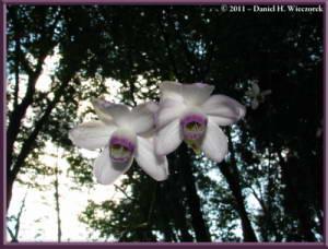 Sept10_026_Mitake_Hinode_Anemonopsis_macrophyllaRC