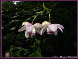 Sept10_028_Mitake_Hinode_Anemonopsis_macrophyllaRC