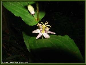 Sept10_037_Mitake_Hinode_Tricyrtis_spRC