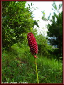 Sept10_054_Mitake_Hinode_Sanguisorba_officinalisRC