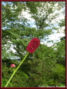 Sept10_067_Mitake_Hinode_Sanguisorba_officinalisRC