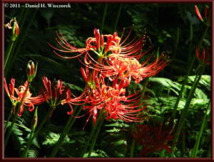 Sept18_14_NogawaPk_Lycoris_radiataRC
