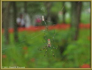 Sept29_082_Kinchakuda_Lycoris_radiata_SpiderRC