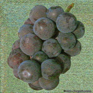 Sept7th_Katsunuma014CropSmall_Grapes_MosaicRC