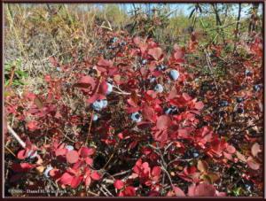 Sep8_16_OnWayEagleSummit_AutumnColors_BlueberriesRC
