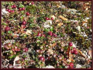 Sep04_48_USCreekRd_LingonberriesRC