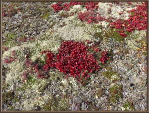Sep04_51_USCreekRd_LingonberriesRC