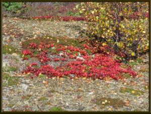 Sep04_52_USCreekRd_LingonberriesRC