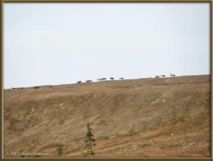 Sept3rd_043_EagleSummit_CaribouRC