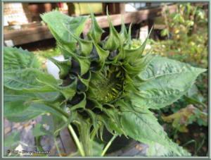 Sept8th_006_SunflowerRC