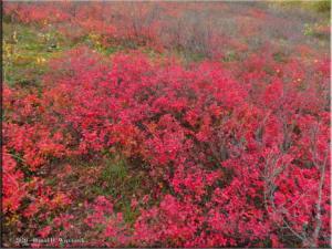 Sept17_10_LingonberryHarvest_USCreekRdRC