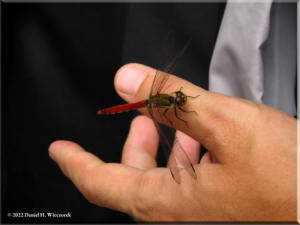 Aug27_TamaRiver_Okutama_Dragonfly03RC.jpg