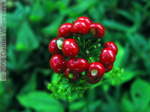 MtMitake17_RedBerries02RC.jpg