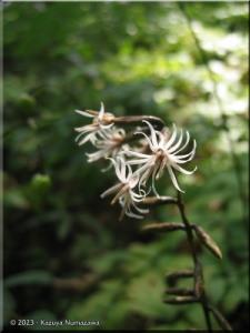August12MtMitake45_AinsliaeaAcerfoliaVarSubapodaRC.jpg