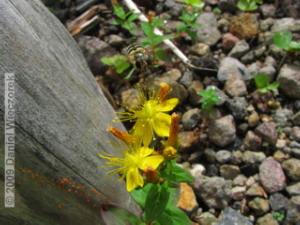 Aug04_Mt_Hakkoda_Climb037_YellowFlowerRC.jpg
