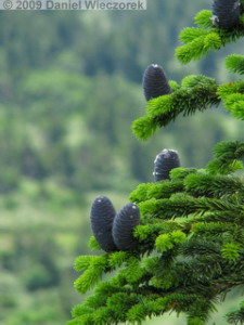 Aug04_Mt_Hakkoda_Climb066_TrueFirConesRC.jpg