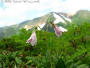 Aug10_MtAsahidake_MtMamiyadake_to_NakadakeOnsen53_Linnaea_borealisRC.jpg
