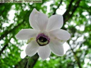 Aug01_10SIP_MtMitake_Rengeshouma_Anemonopsis_macrophyllaRC