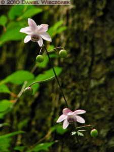 Aug01_46SIP_MtMitake_Rengeshouma_Anemonopsis_macrophyllaRC