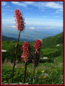 Aug09_144_MtChokaiDescent_FlowersRC