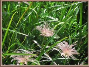 Aug09_088_TsugaIkeToNorikuradake_Geum_pentapetalumRC
