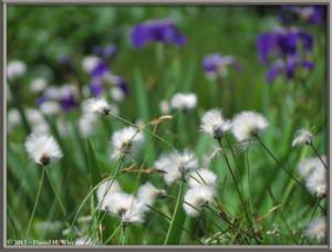Aug09_101_TsugaIkeToNorikuradake_Iris_CottongrassRC