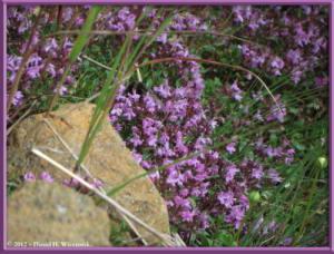 Aug10_164_Ooike_MtKorenge_Thymus_serpyllum_subsp_quinquecostatusRC