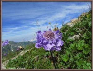 Aug10_218_MikuniPass_SideTrip_Scabiosa_japonica_var_alpinaRC