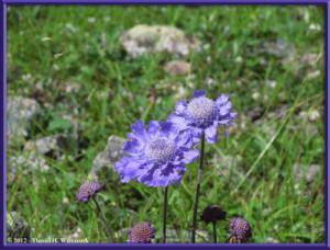 Aug10_239_MikuniPass_SideTrip_Scabiosa_japonica_var_alpinaRC