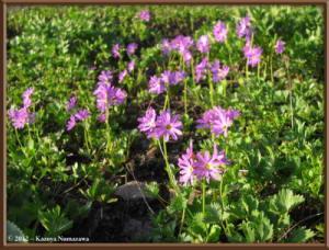Aug10th007_MtShiroumadake_PrimulaCuneifoliaVarHakusanensisRC