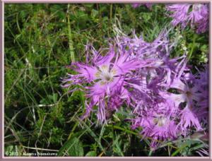 Aug10th133_MtShiroumadake_DianthusSuperbusVarSpeciosusRC