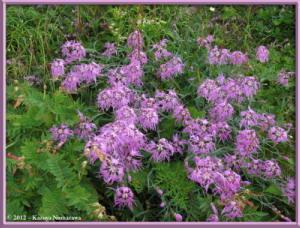 Aug11th062_MtHakubaYari_DianthusSuperbusVarSpeciosusRC