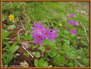 Aug11th078_Oodehara_PrimulaCuneifoliaVarHakusanensisRC