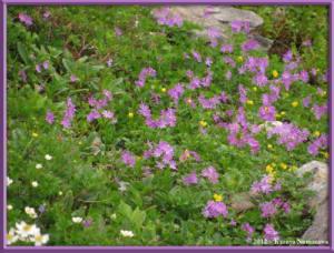 Aug11th088_Oodehara_PrimulaCuneifoliaVarHakusanensisRC