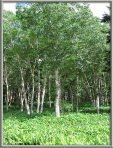 Aug14_56_OzeNumaArea_BirchForestRC