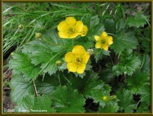 Aug9th040_MtNorikuradake_GeumCalthifoliumVarnipponicumRC