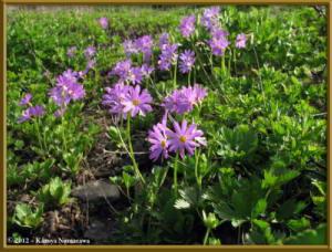 Aug9th096_HakubaOoike_PrimulaCuneifoliaVarHakusanensisRC