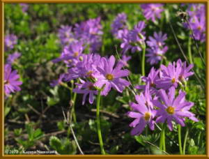 Aug9th100_HakubaOoike_PrimulaCuneifoliaVarHakusanensisRC