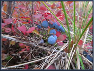 Aug26_22_USCreekRd_BerryPicking_BlueberryRC