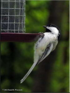 Aug23_15_BirdFeeder_BCCHRC