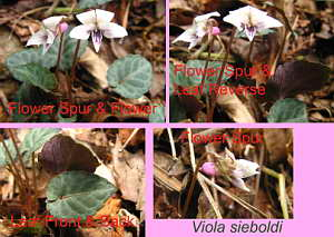 A Viola sieboldi Collage April 13