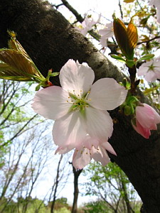 Beautiful Cherry Blossom Photo, April 2006 (542 KB JPG File)
