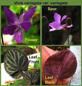 Viola variegata var. variegata Details, April 29 (838 KB JPG File)