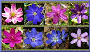 Mt. Kakuda - Several Hepatica Flowers - A Nice Collage (623 KB JPG File)